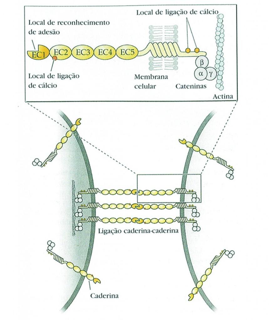 CAM proteínas
