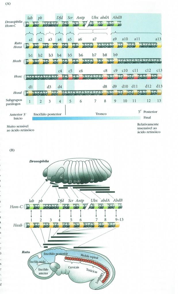 expressão corporal dos genes - mosca da fruta